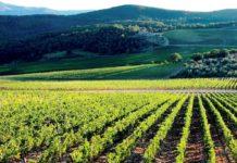 agricoltura, vigneto