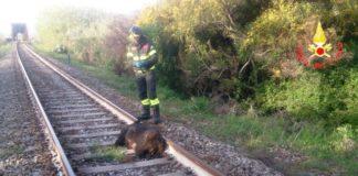 Catanzaro: cinghiale investito da treno