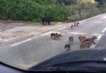 Famiglia cinghiali per strada