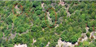canapa indiana scoperte 3 piantagioni a Locri Reggio Calabria