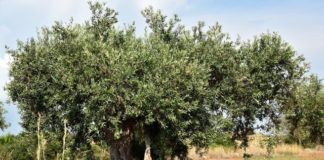 oliveto, campo di oliva, agricoltura