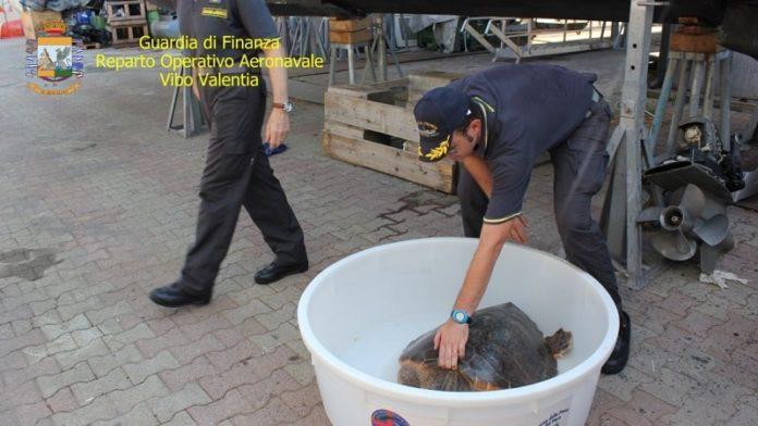 Tartaruga caretta caretta, Vibo Valentia