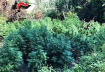 piantagione canapa indica