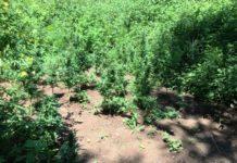 sequestrata piantagione