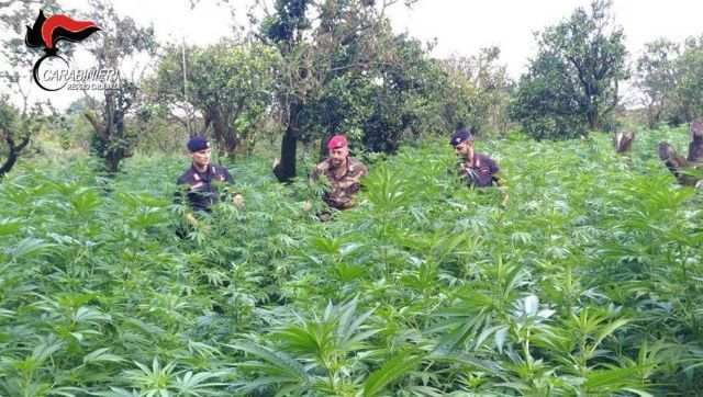 carabinieri reggio calabria, piantagione