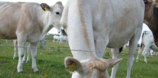 Agricoltura, sostegno Regione allevatori