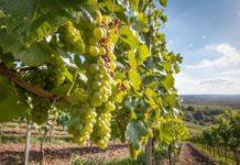 Regione Calabria in aiuto al comparto vitinicolo, vendemmia