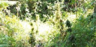 piantagione di marijuana, Carabinieri di Reggio Calabria