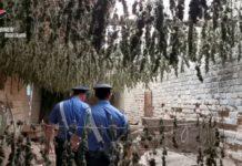 piante marijuana sequestrate Carabinieri Reggio Calabria