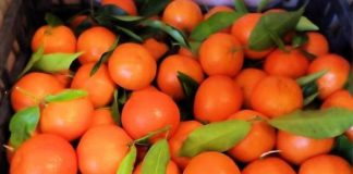 Clementine IGP Calabria