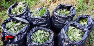 Cittanova, coltivazione piante marijuanaCarabinieri Reggio Calabria