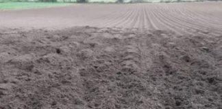 Campi di patate devastati dai cinghiali in Sila