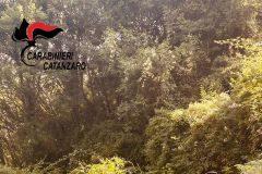 Tiriolo, sequestro piante di cannabis, Carabinieri Catanzaro