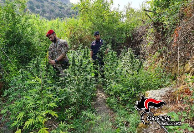 Gioiosa Ionica, contrasto alla coltivazione di canapa, Carabinieri Reggio Calabria