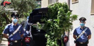 Soveria Mannelli, sequestro pianta cannabis, Carabinieri Catanzaro