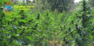 maxi sequestro marijuana, Guardia di Finanza Catanzaro