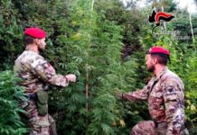 Cosoleto sequestro piante marijuana Carabinieri Reggio Calabria
