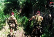 Locri, piantagione marijuana, Carabinieri Reggio Calabria