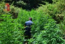 Questura Catanzaro, piante marijuana poste sotto sequestro