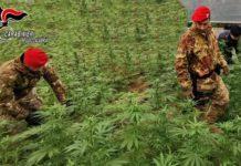 Rizziconi (RC) sequestro piante marijuana Carabinieri Reggio Calabria