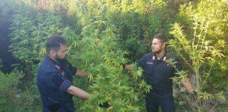 Crotone, scovata piantagione di marijuana