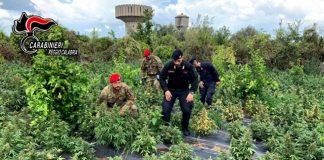 Rizziconi, sequestro piante marijuana, Carabinieri Reggio Calabria